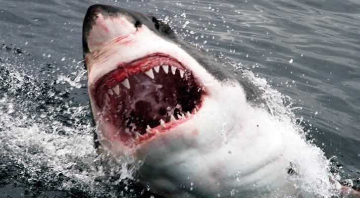 Cá mập làm giá như thế nào?
